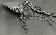 The first full Ichthyosaur was found by Mary Anning when she was only 12.
