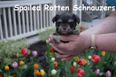 teacup liver and tan schnauzer puppy. super cute with baby-doll face!