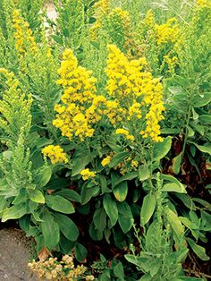 Solidago californica 'Cascade Creek' - Cascade Creek California goldenrod. California native plant; bears bright yellow flowers in summer and fall that attract butterflies and beneficial insects; ideal for native grass meadow.