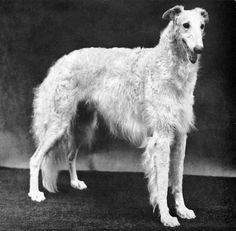"Louis J. Murr's favorite puppy, Vigow of Romanoff, whelped in 1933, is often called ""the Greatest Borzoi Ever Bred."""