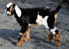 Baby Nubian Goat--beautiful