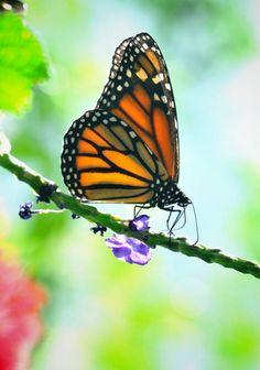 Monarch butterfly photographer: Igor Gavrilkin