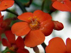 ユーフォルビア・フルゲンス」-Euphorbia fulgens-