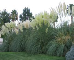 Pampas Grass to block out my hideous neighbors until next year when the fence gets built! Hopefully!!!! Oh men