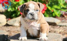 Rylie | English Bulldog Puppy For Sale | Keystone Puppies