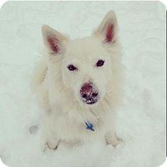 St. Louis, MO - American Eskimo Dog Mix. Meet Wookie, a dog for adoption. http://www.adoptapet.com/pet/14601221-st-louis-missouri-american-eskimo-dog-mix