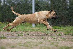 My dog, Sadie, is presa canario and chocolate lab.  I LOVE HERRR!!!