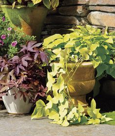 Sweet-potato Vine | If tending to your flora is leaving you feeling wilted, take heart: These plants are almost impossible to kill.