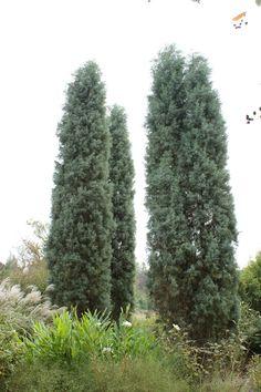 Cupressus arizonica var. glabra - Google Search Tree Poem, Dry Garden, Lawn And Landscape, Arizona, Cactus Plants, Photo Credit, Poems, Blue, Google Search