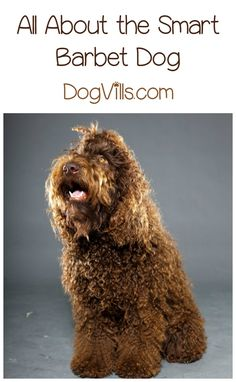 Is the Barbet a Hypoallergenic Dog Breed? The Barbet dog is a love bug of the highest order. If you have allergies, though, you might wonder, is he a hypoallergenic dog breed? Read on to find out! Big Dogs, Cute Dogs, Hypoallergenic Dog Breed, Dog Food Online, Dog Best Friend, What Cat, Dog Facts, Medium Sized Dogs, Large Dog Breeds