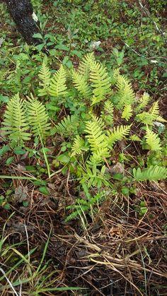 Fentos Plants
