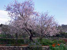 Hablar del almendro en flor es hablar de belleza y, como no, de La Palma