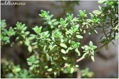 8 Top Medicinal Uses & Health Benefits Of Thyme | Thymus Vulgaris For Hair…