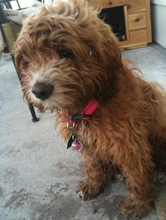 Kiley Frederick @kileyfrederick @CockapooPlace Another #cockapoo pic of Purdy after playing in the sprinklers!