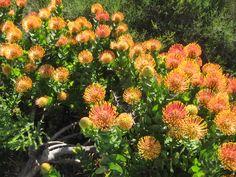 Orange pin cushions at Grootbos Nature Reserve