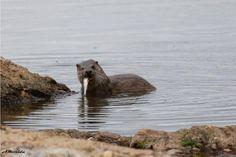 Nutria  (Lutra lutra) En la presa de Mendoza Guadalmez Ciudad Real Mendoza, Merida, Brown Bear, Mammals, My Photos, Wildlife, Otters, Cities, Animales
