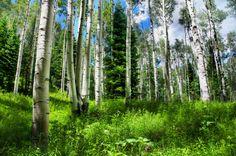 Naturaleza, Rusia, bosque, brezi, abeto, cielo, hierba wallpaper
