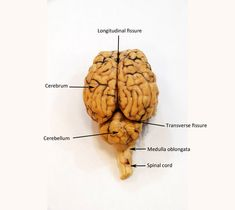 Image result for sheep brain labeled