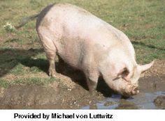middle-white-pig-1.jpg