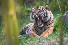 """""""Gorgeous Sumatran Tiger at the new Tiger Trail exhibit at the San Diego Zoo Safari Park. The whole exhibit is spectacular and leaves almost everyone speachless."""" - Bob Worthington"""
