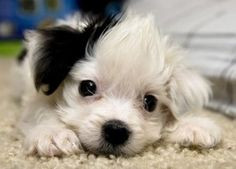 maltepoo. of course i have to get another one of these things.