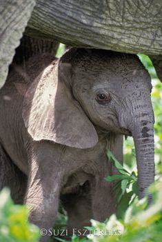 Cute Baby Elephant Photo Print, Baby Animal Photograph, African Safari, Wildlife Photography, Wall D Elephants Photos, Save The Elephants, Cute Baby Elephant, Cute Baby Animals, Wild Animals, Amazing Animals, Animals Beautiful, Beautiful Beautiful, African Elephant