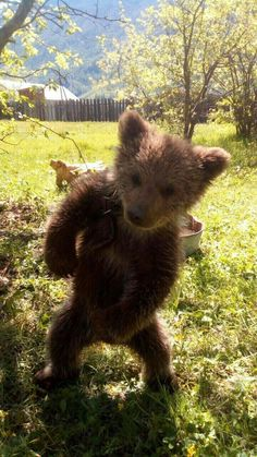 My name is Angie 😊🐺💖 Cute Funny Animals, Cute Baby Animals, Animals And Pets, Bear Pictures, Cute Animal Pictures, Lovely Creatures, Woodland Creatures, Bear Cubs, Bears