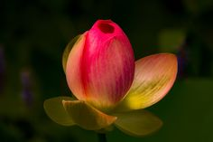 Ready to Bloom by Jay Stockhaus on 500px