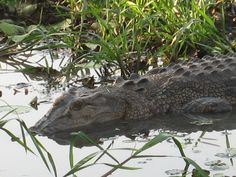 Croc Yellow Waters
