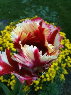 candy cane parrot tulip