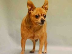 SUPER URGENT 03/11/17 Manhattan Center ASHWIN – A1105903  NEUTERED MALE, BROWN, CHIHUAHUA SH MIX, 8 yrs STRAY – ONHOLDAVAI, HOLD FOR ID Reason STRAY Intake condition EXAM REQ Intake Date 03/11/2017, From NY 10458, DueOut Date 03/18/2017,