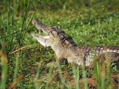 Nile Crocodile (Crocodylus niloticus) observed by congonaturalist on July 18, 2016  ·  iNaturalist.org