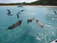 The Swimming Pigs of Major Spot Cay