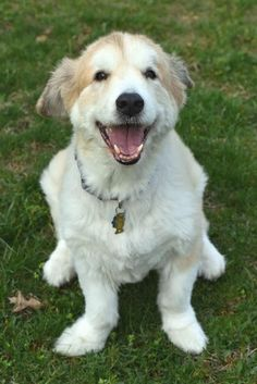 Meet JAKE, an adoptable Great Pyrenees looking for a forever home. If you're looking for a new pet to adopt or want information on how to get involved with adoptable pets, Petfinder.com is a great resource.