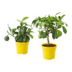 CITRUS Pflanze  - IKEA