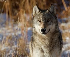 Photograph Yellowstone Canyon Yearling Wolf by Max Waugh on 500px