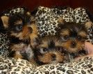 Animals - I got Healthy, Well Tamed, Pure Bred Teacup Yorkies puppies to offer for Free Adoption to any ready home. My yorkies are. Yorky Terrier, Yorshire Terrier, Teacup Puppies For Sale, Cute Puppies, Cute Dogs, Mini Puppies, Toy Puppies, Yorkies, Yorkie Puppy