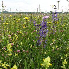 Wildblumen Blumenwiesen wildstauden