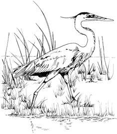 TPWD Kids: Great Blue Heron
