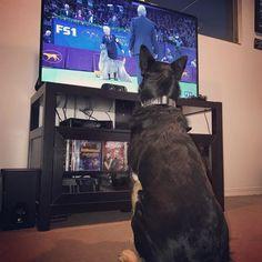 Reposting @dognamedshelby: I'm ready for the @westminsterkennelclub #wkcdogshow!!!! 🐾🐶 Follow 👉🏼 #dognamedshelby • • • #roadtowkc #dogshow #dogsofinstagram #dog #dogs #puppy #dogstagram #instadog #doglover #pet #instapuppy #puppylove #petstagram #ilovemydog #puppies #pets #puppiesofinstagram #instadogs #pup #dogoftheday #shepardrottiemix #germanshepard #rottie #rottweiler #petsagram #doggies #doggy #doggie