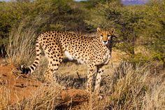 Cheetah-Namibia-E08C1341-1600-XL.jpg 1024×683 pixels