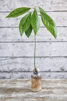 Zo kweek je een eigen avocadoboom uit de pit – Roomed Do you like avocado? This way you can grow your own avocado tree from the pit – Roomed Garden Compost, Hydroponic Gardening, Garden Plants, Indoor Plants, Porch Garden, Diy Garden, Garden Ideas, Growing An Avocado Tree, Avocado Dessert