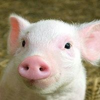 Piglet. your name shall be pork chop but you will never be eaten!!