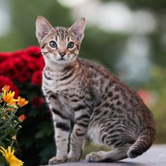Ocicat by Tessa Tortoiseshell Tabby, Ocicat, Egyptian Mau, Cat Reference, American Shorthair, Abyssinian, Pet Health, Cats And Kittens, Cat Lovers