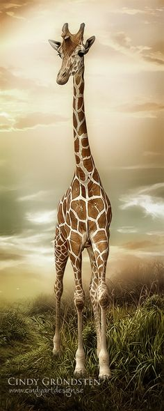 Giraffe [Cindy Grundsten] Like & Repin. Noelito Flow. Noel Panda http://www.instagram.com/noelitoflow