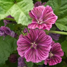 Malva 'Purple Satin'  Among the most colorful and floriferous of Mallows, this vigorous cultivar sets masses of 2½-inch blooms of bright lavender with heavy violet veining. The flowers top dense, broadly lobed foliage of fresh green on well-branched plants that re-seed in favorable conditions. Very tolerant of heat and drought, this perennial flowers far longer than most others. Zones 4-8.