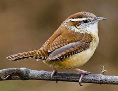 The Carolina Wren is our most common wren. It grows more than 5 inches long and is brown, with a light yellowish-beige belly. It has a large white stripe over each eye, and a whitish throat. The Carolina Wren's most common foods are insects and spiders and they feed mostly on the ground. These birds pair for life and live here year-round. http://www.youtube.com/watch?v=c06XBIbMDHg