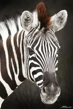 Africa | Plains Zebra. Etosha National Park, Oshikoto, Namibia | ©Marc - busy, via flickr