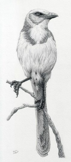 33 best Oiseaux. images on Pinterest | Birds, Drawings and Parakeets