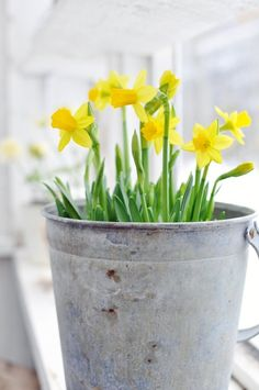 The lovely yellow Daffodil-flower is a wonderful sign of spring and decorated in Danish homes!  #eastertime